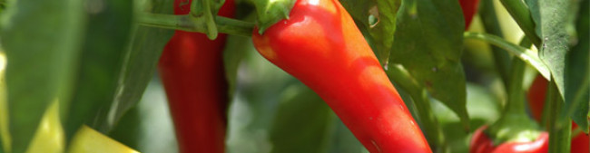 Capsicum Production & Processing